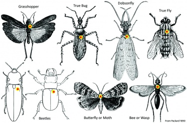 Insect pinning guide where to place