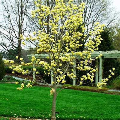 Yellow bird magnolia how to grow from